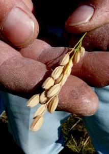 紀ノ川産山田錦(特別栽培米)、 黄金色の稲穂の収穫の画像