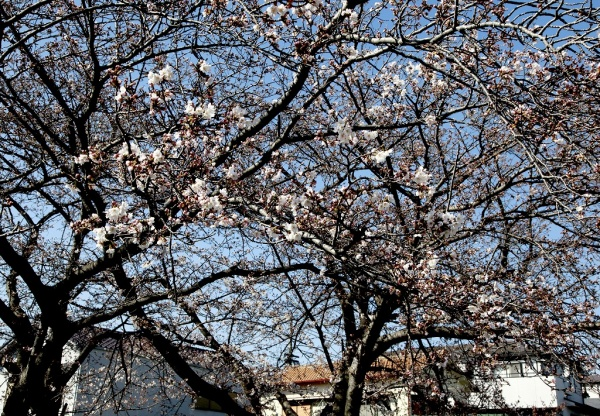 一気に春到来で桜も咲き始めた好天気!