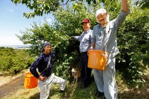 紀州の梅雨、青梅の収穫終盤。藪下農園の親子3代総出で の画像