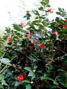 【梅酒蔵】 陸平さんの梅の花、満開!の画像