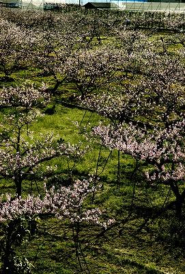 【新蔵周辺の風景】酒蔵の窓からのぞむ桃畑に囲まれた蔵からの風景6