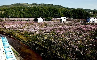 【新蔵周辺の風景】酒蔵の窓からのぞむ桃畑に囲まれた蔵からの風景4